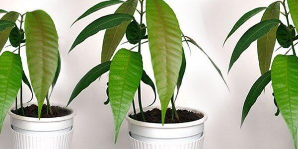 Как вырастить манго из косточки в домашних условиях?