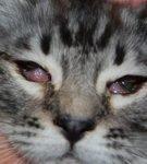 У кошки гноятся глаза – что делать в домашних условиях?