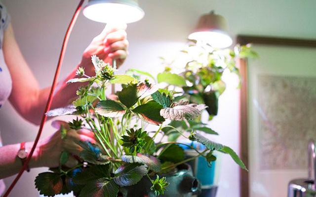 Выращивание клубники круглый год в домашних условиях