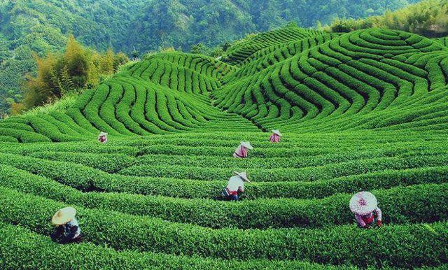 Чай Пуэр – что это такое?