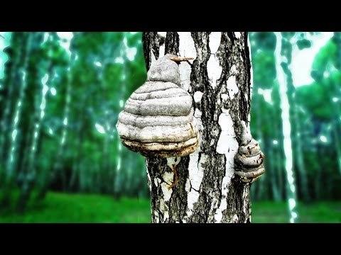 Чага (березовый гриб) – полезные свойства и применение чаги