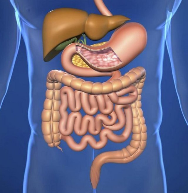 Цикорий – польза и вред для здоровья