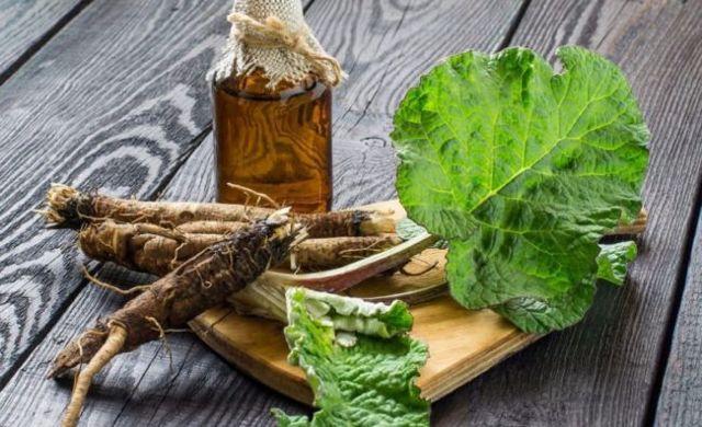 Корень лопуха – лечебные свойства и противопоказания
