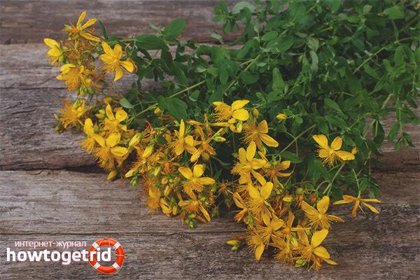 Зверобой (трава) – лечебные свойства и противопоказания