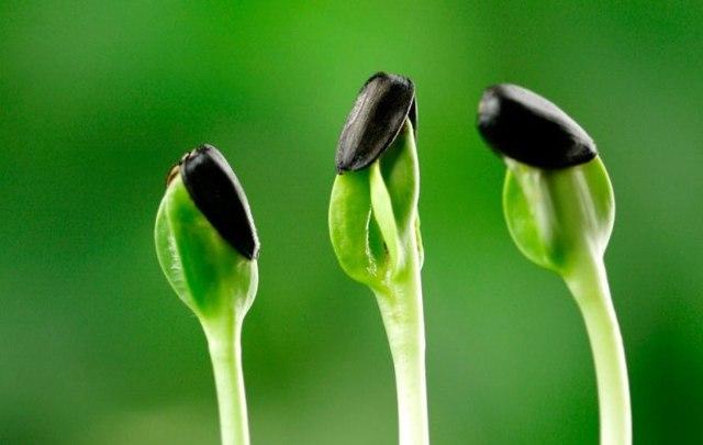Семечки подсолнуха – польза и вред для женщин и мужчин