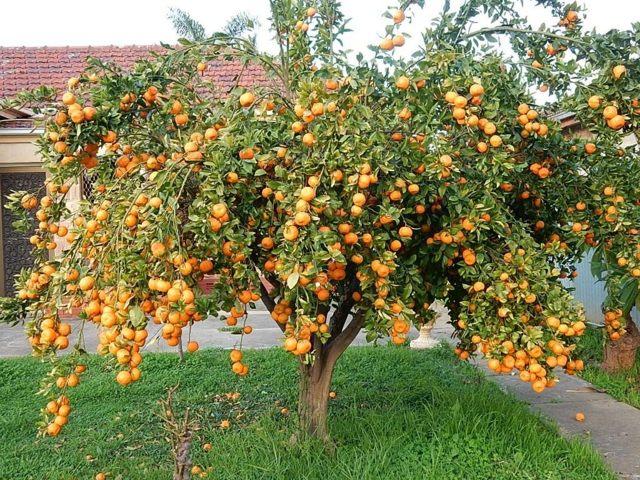 Как ухаживать за мандариновым деревом в горшке в домашних условиях
