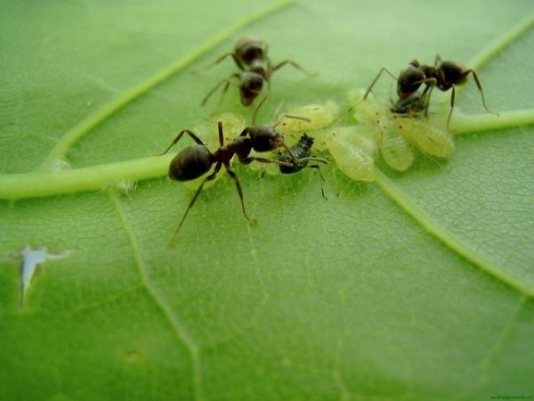 Как избавиться от муравьев на участке – самый эффективный способ: ТОП-12