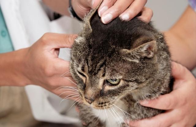 Ушные клещи у кошек – лечение в домашних условиях